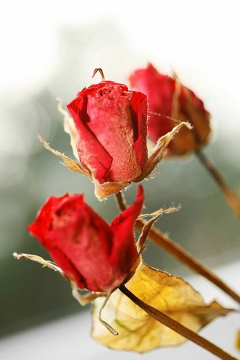 Stock Photo: 1848R-366061 Dried red roses