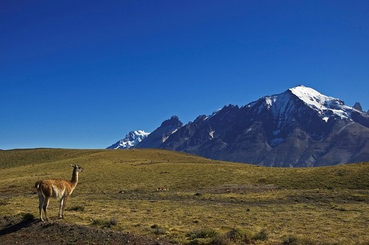 Guanaco Lama guanicoe, National Park Torres del Paine, Patagonia, Chile, South America : Stock Photo