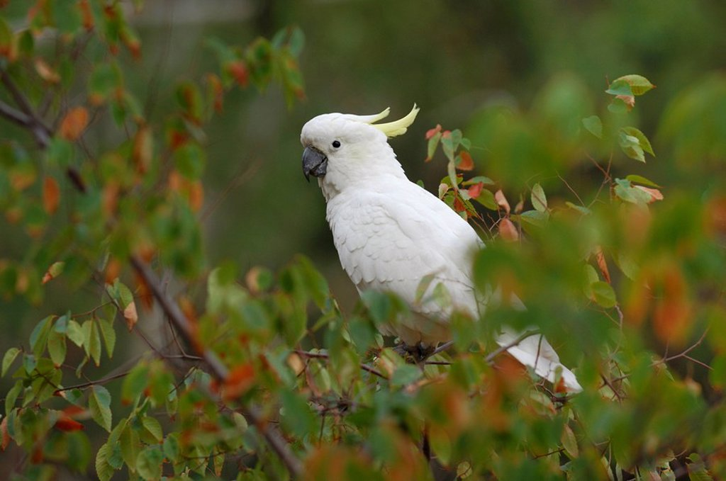 Stock Photo: 1848R-366754 Sulphur-crested Cockatoo Cacatua galerita, Australia