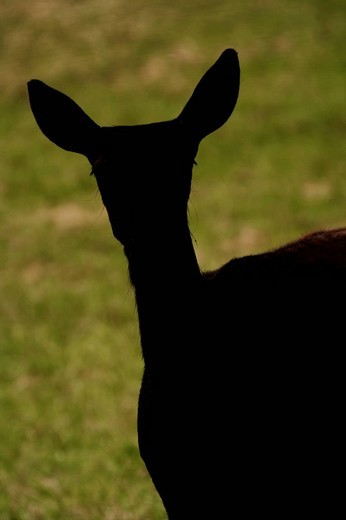 Silhouette of a red deer, doe, Cervus elaphus : Stock Photo