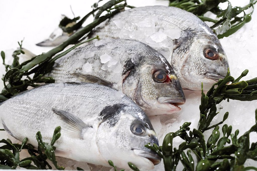 Gilthead seabream, dorade royale, with seaweed : Stock Photo