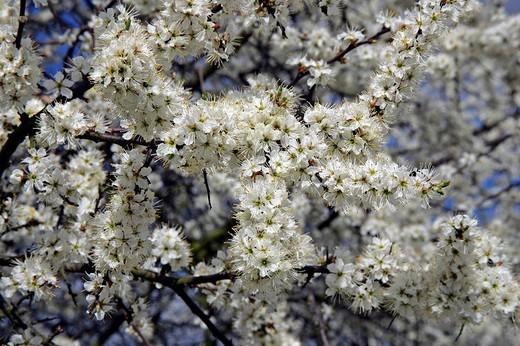Stock Photo: 1848R-368154 Flowering blackthorn - sloe Prunus spinosa
