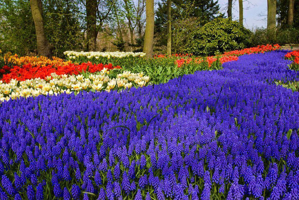 Stock Photo: 1848R-368398 Grape Hyacinth Muscari armeniacum and Tulips Tulipa, Keukenhof, Holland, Netherlands, Europe