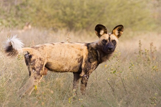African Wild Dog Lycaon pictus, Namibia, Africa : Stock Photo