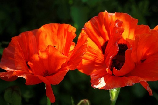 Corn poppy flower : Stock Photo