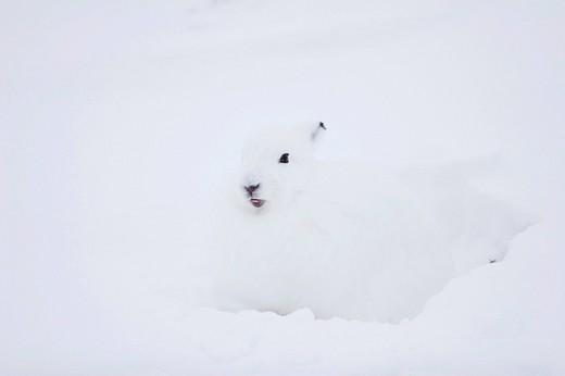 Stock Photo: 1848R-369158 Mountain hare Lepus arcticus, Churchill, Manitoba, Canada