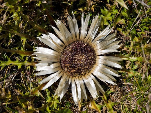 Stock Photo: 1848R-369226 Silver Thistle or Stemless Carline Thistle Carlina acaulis, Grossarltal, Salzburg, Austria, Europe