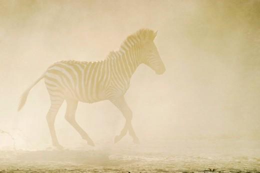 Stock Photo: 1848R-370275 Plains Zebra Equus quagga burchelli in the dusty dry riverbed, Boteti River, Khumaga, Makgadikgadi Pans National Park, Botswana, Africa