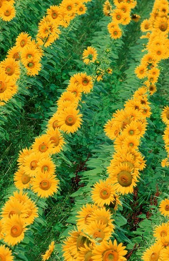 Stock Photo: 1848R-370635 Sunflower field, Provence, Southern France / Helianthus annuus