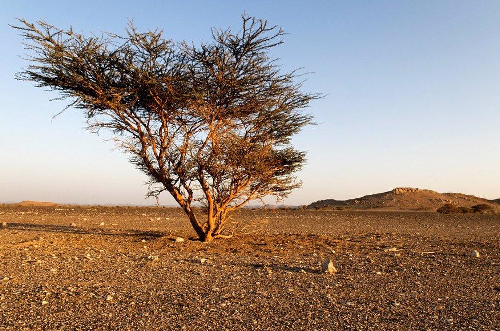 Lonely acacia tree in a Hammada desert near Sinaw, Sharqiya Region, Sultanate of Oman, Arabia, Middle East : Stock Photo