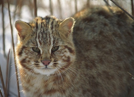 Amur wildcat / Felis euptilura  Ussuriland, Southern Far East of Russia : Stock Photo