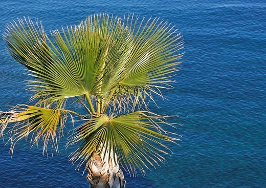 Stock Photo: 1848R-371018 Palm tree in front of the ocean