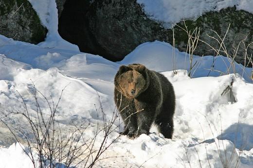 Stock Photo: 1848R-371406 Brown bear Ursus arctos in a snowy landscape