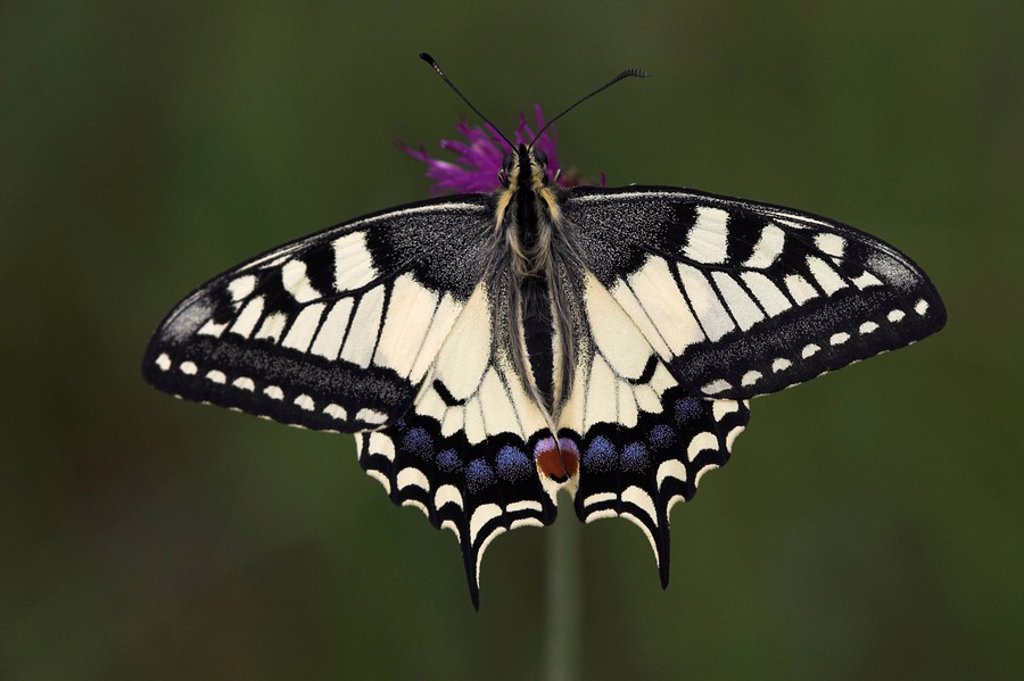 Swallow tail papilio machaon, one of the nicest butterflies, very small depth of field : Stock Photo