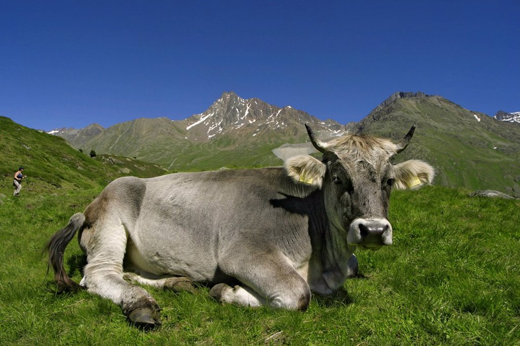 Cow on a pasture : Stock Photo