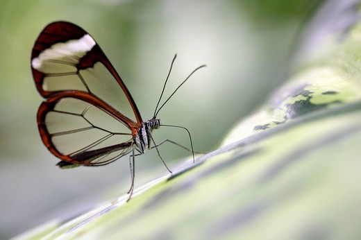 Glass Wing Butterfly Greta oto, south american butterfly : Stock Photo