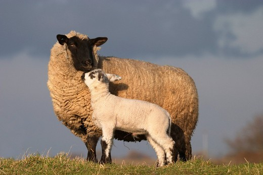 Stock Photo: 1848R-372038 Sheep