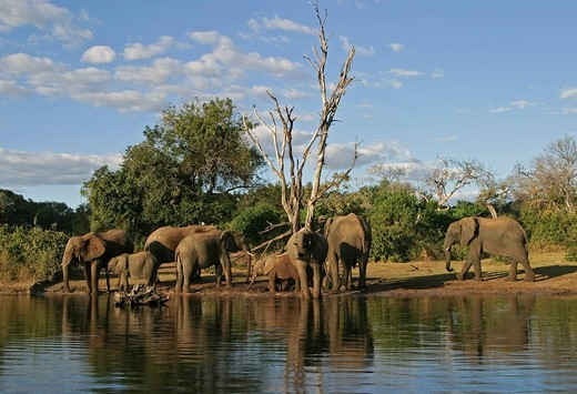 Stock Photo: 1848R-372521 African Bush Elephants Loxodonta africana on the shores of Chobe River, Chobe River National Park, Botswana, Africa