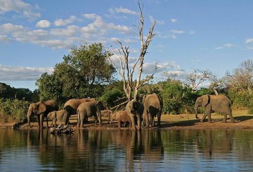 African Bush Elephants Loxodonta africana on the shores of Chobe River, Chobe River National Park, Botswana, Africa : Stock Photo
