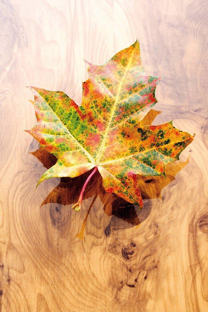 Stock Photo: 1848R-372811 Autumn leaf, Maple Acer