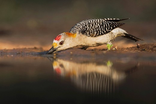 Stock Photo: 1848R-372928 Golden_fronted Woodpecker Melanerpes aurifrons, male drinking, Rio Grande Valley, Texas, USA