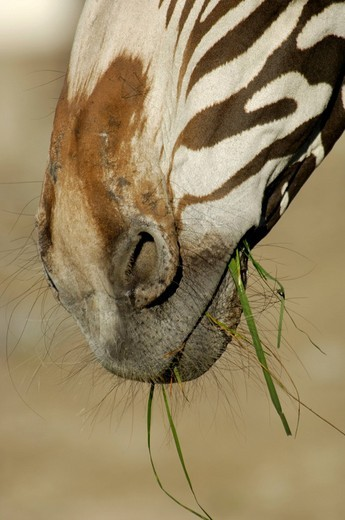 Stock Photo: 1848R-373277 Mouth of a zebra grevyzebra with grass, detail
