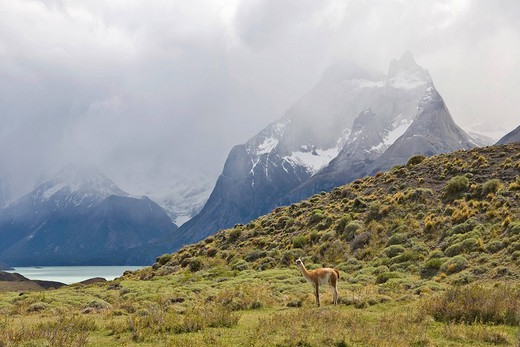 Guanaco Lama guanicoe and Los Cuernos peaks, Torres del Paine National Park, Patagonia, Chile, South America : Stock Photo