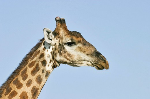 Stock Photo: 1848R-373358 Giraffe Giraffa camelopardalis, Etosha National Park, Namibia, Africa