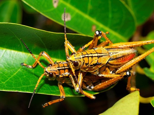 Eastern lubber grasshopper Romalea guttata, mating : Stock Photo