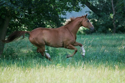 Stock Photo: 1848R-374401 Warmblood mare, galloping