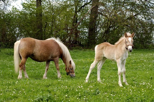 Haflinger mare with eleven-day-old foal out at feed : Stock Photo