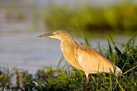 Squacco Heron Ardeola ralloides, Chobe River, Chobe National Park, Botswana, Africa : Stock Photo