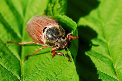 Stock Photo: 1848R-375755 May beetle melolontha melolontha