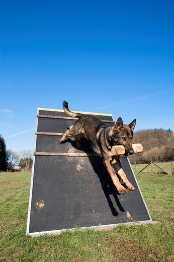 Stock Photo: 1848R-376203 German Sheperd jumping over an obstacle