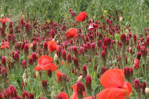 Crimson clover Trifolium incarnatum and Corn poppy Papaver rhoeas, Lower Austria, Austria : Stock Photo