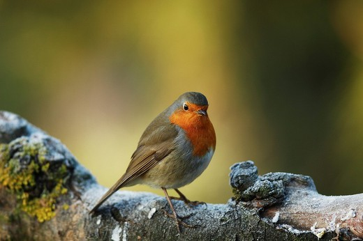 Stock Photo: 1848R-376414 Robin Erithacus rubecula