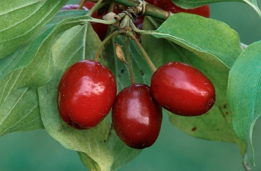 Cornelian Cherry fruits, North Rhine-Westphalia, Germany Cornus mas : Stock Photo