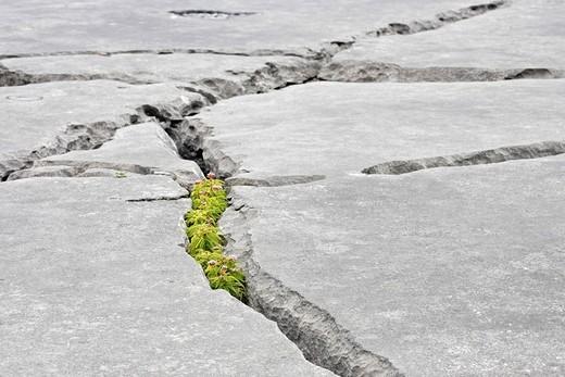 Hemp Agrimony  Eupatorium cannabinum, Burren, Clare, Ireland : Stock Photo