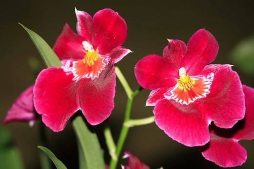Stock Photo: 1848R-377150 Blossoms of Miltonia hybrid orchids