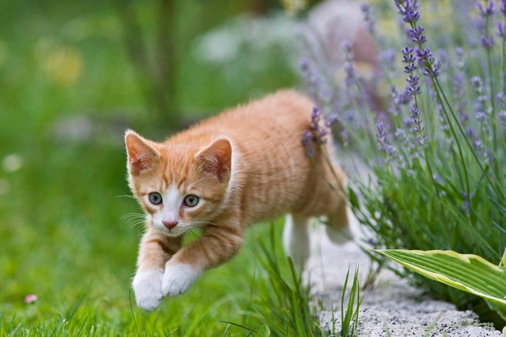 Stock Photo: 1848R-377329 European shorthair cat is jumping in a meadow