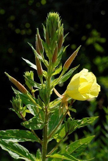 Oenothera biennis : Stock Photo