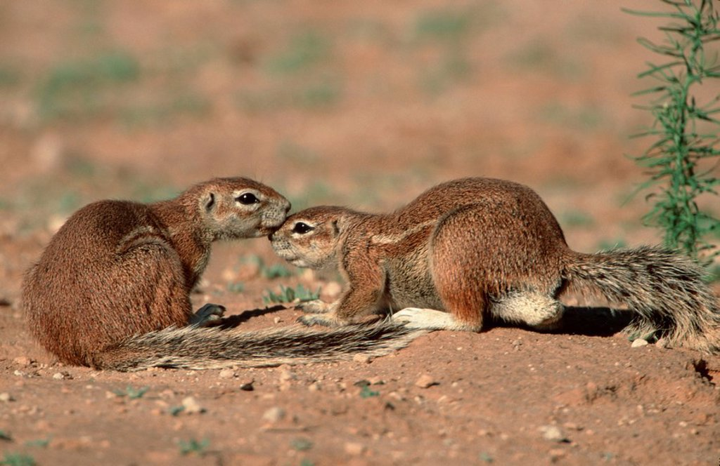 Stock Photo: 1848R-377891 Cape Ground Squirrels, Kalahari Gemsbok Park, South Africa / Xerus inauris