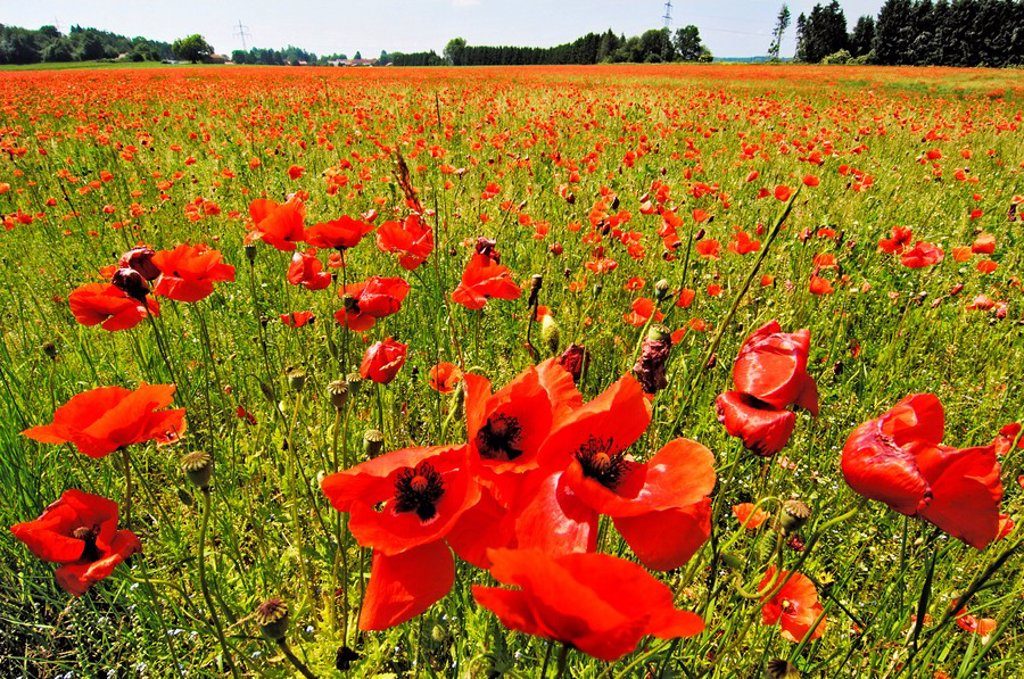 Meadow with common corn poppy, Papaver rhoeas near Munich, Bavaria : Stock Photo