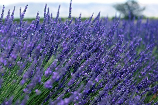 Lavender field, Plateau de Valensole, Provence, France, Europe : Stock Photo