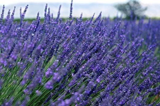 Stock Photo: 1848R-378993 Lavender field, Plateau de Valensole, Provence, France, Europe