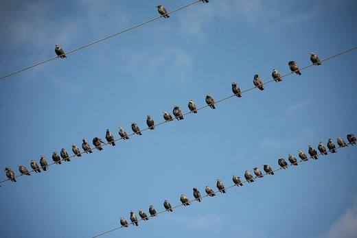 European Starlings Sturnus vulgaris perched atop power lines : Stock Photo
