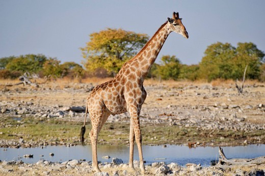 Stock Photo: 1848R-380898 Giraffe Giraffa camelopardalis at Goas Waterhole, Etosha National Park, Namibia, Africa