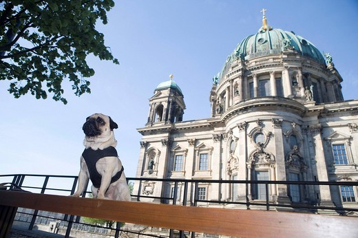 Young pug in front of the cathedral in Berlin, Mitte, Germany, Europe : Stock Photo
