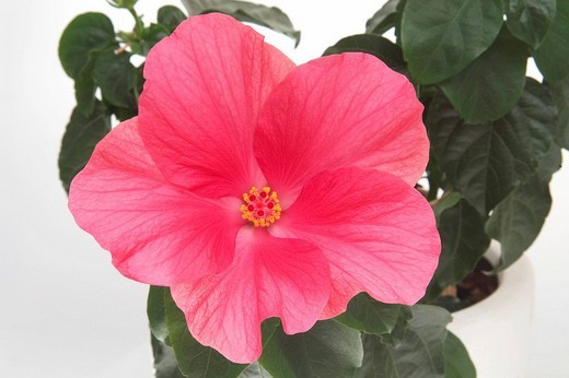 Stock Photo: 1848R-381195 Hibiscus Rose mallow