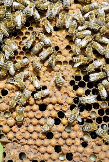 Bees, apis melifera ssp carnica on the closed cells of drone puppae : Stock Photo